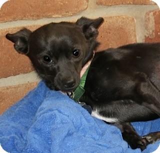 Chihuahua Mix Dog for adoption in San Diego, California - Toni