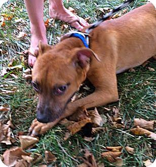 Boxer/Labrador Retriever Mix Dog for adoption in Media, Pennsylvania - JEREMIAH