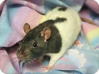 Rat for adoption in Harrisonburg, Virginia - Artemis