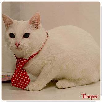 Domestic Shorthair Cat for adoption in Arlington/Ft Worth, Texas - Trooper