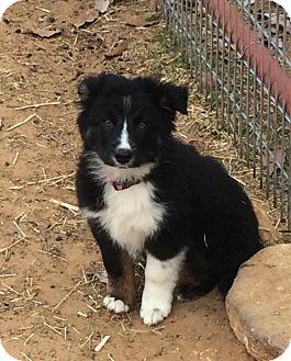 Australian Shepherd Puppy for adoption in GRANBURY, Texas - Onyx