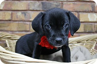 Retriever (Unknown Type) Mix Puppy for adoption in Benbrook, Texas - Winter