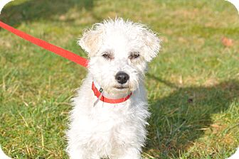 Poodle (Miniature)/Terrier (Unknown Type, Small) Mix Dog for adoption in Tumwater, Washington - Olivia