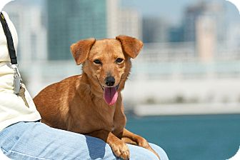 Terrier (Unknown Type, Small) Mix Dog for adoption in Coronado, California - Chessie