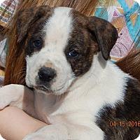 Adopt A Pet :: Cinder (6 lb) - SUSSEX, NJ