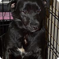 Adopt A Pet :: Dottie - Meridian, ID