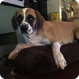 Boxer/Labrador Retriever Mix Dog for adoption in ST LOUIS, Missouri - Momma Daisy
