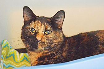 Domestic Shorthair Cat for adoption in Lincoln, Nebraska - Willow