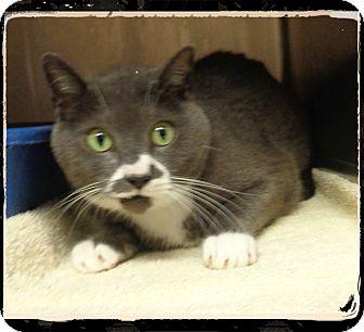 Domestic Shorthair Cat for adoption in Marietta, Georgia - SMUDGE