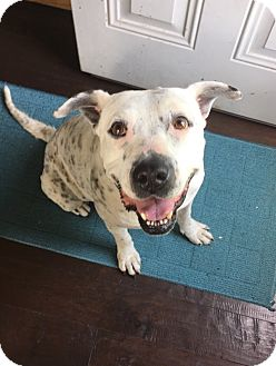American Bulldog Mix Dog for adoption in New Albany, Ohio - Francesca