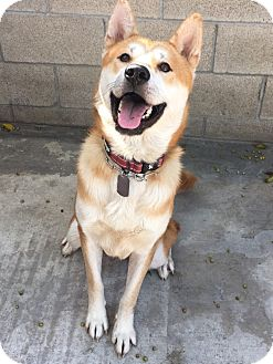 Jindo/Shiba Inu Mix Dog for adoption in La Mirada, California - Dustin