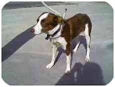 Border Collie Mix Dog for adoption in Phelan, California - Scarlett