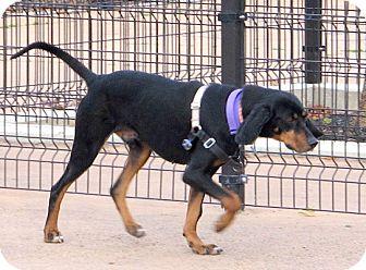 Black and Tan Coonhound Dog for adoption in New York, New York - Waylon
