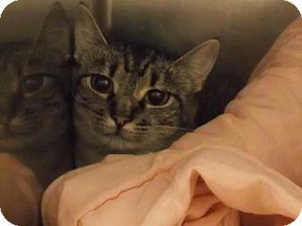 Domestic Shorthair Cat for adoption in Gloucester, Virginia - JADE