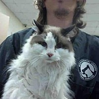 Domestic Mediumhair Cat for adoption in Conroe, Texas - TWINKIE