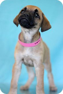 Pug Mix Puppy for adoption in Waldorf, Maryland - Wallflowers
