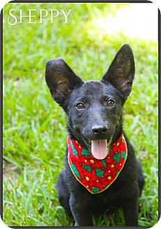 German Shepherd Dog/Terrier (Unknown Type, Medium) Mix Puppy for adoption in DeForest, Wisconsin - Sheppy