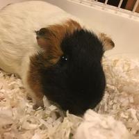 Adopt A Pet :: Petunia Pig (bonded with Hen Wen) - Redmond, WA