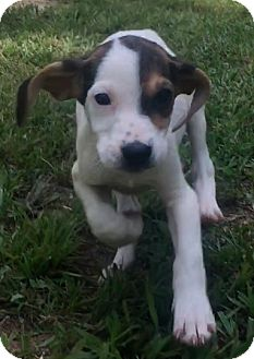 German Shorthaired Pointer/Hound (Unknown Type) Mix Puppy for adoption in Buffalo, New York - Dixie
