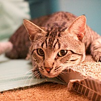 Adopt A Pet :: Barnabus - Houston, TX