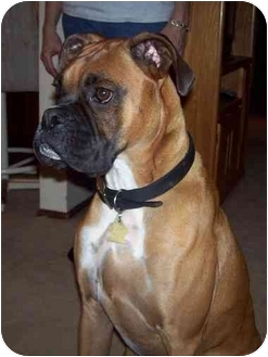 Boxer Dog for adoption in Middlesex, New Jersey - Murphy