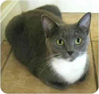 Domestic Shorthair Cat for adoption in Plainville, Massachusetts - ValleyGirl
