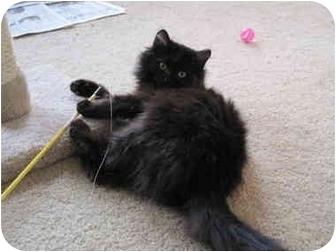 Domestic Longhair Kitten for adoption in Cincinnati, Ohio - kitten_PIRATE