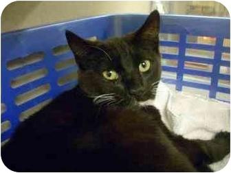Domestic Mediumhair Cat for adoption in North Charleston, South Carolina - Boots