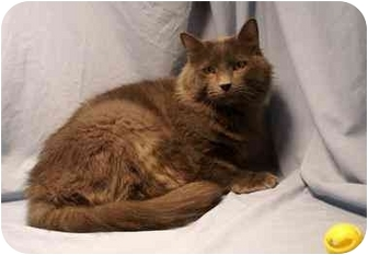Domestic Mediumhair Cat for adoption in Houston, Texas - Charlie