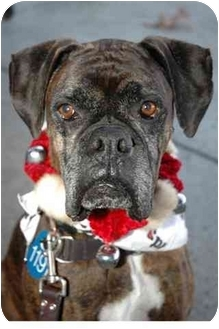 Boxer Dog for adoption in Vista, California - Bruno