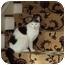 Photo 2 - Domestic Shorthair Cat for adoption in Sheboygan, Wisconsin - Chelsea