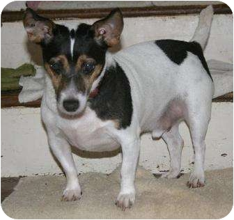 Jack Russell Terrier Dog for adoption in Columbia, Tennessee - Pluto