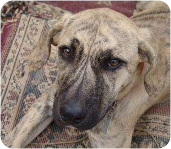 Plott Hound Mix Dog for adoption in Westerly, Rhode Island - Molly