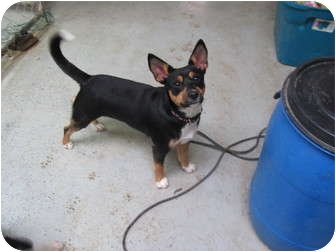 Miniature Pinscher/Terrier (Unknown Type, Small) Mix Dog for adoption in Hohenwald, Tennessee - Gracie