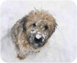 Wheaten Terrier Dog for adoption in Antioch, Illinois - Bram ADOPTION PENDING