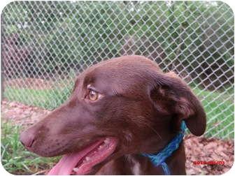 Labrador Retriever/Hound (Unknown Type) Mix Dog for adoption in Cranford, New Jersey - River