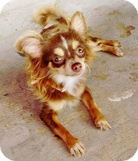 Chihuahua Mix Dog for adoption in AUSTIN, Texas - JILLY