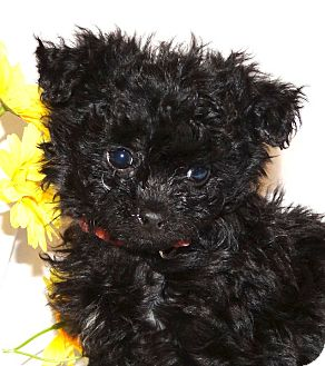 Cockapoo/Poodle (Toy or Tea Cup) Mix Puppy for adoption in Westport, Connecticut - *Poppy - PENDING