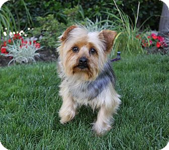 Yorkie, Yorkshire Terrier Dog for adoption in Newport Beach, California - GEORGETTE