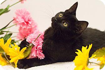 Domestic Shorthair Kitten for adoption in Sacramento, California - Bits