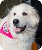 Great Pyrenees Mix Dog for adoption in Wimberley, Texas - Reba