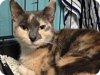Domestic Shorthair Cat for adoption in Warwick, Rhode Island - Chocolate