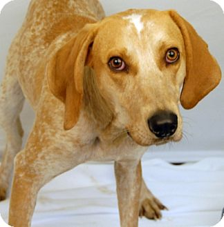 Coonhound Mix Dog for adoption in Newland, North Carolina - Red