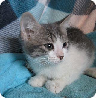 Domestic Shorthair Kitten for adoption in Pueblo West, Colorado - Tahlia