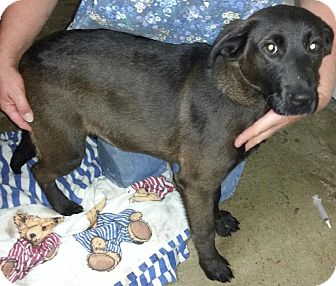 Labrador Retriever/Retriever (Unknown Type) Mix Puppy for adoption in Chicago, Illinois - Remy*ADOPTED!*