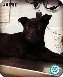Labrador Retriever Mix Puppy for adoption in Kimberton, Pennsylvania - Jamie