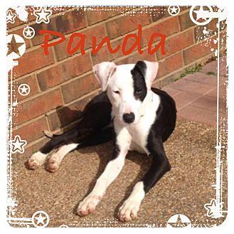 Spaniel (Unknown Type)/Labrador Retriever Mix Puppy for adoption in CHAMPAIGN, Illinois - PANDA