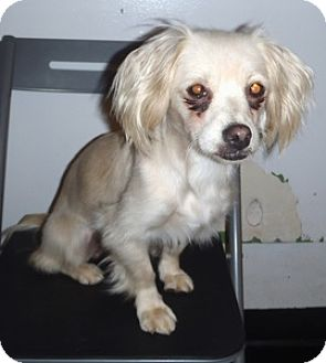 King Charles Spaniel Mix Puppy for adoption in Studio City, California - Molly