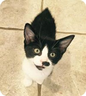 Japanese Bobtail Kitten for adoption in Mission Viejo, California - Mitch and Si