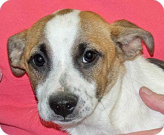 Corgi Mix Puppy for adoption in Spokane, Washington - Dorothy